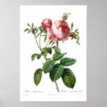 Foliacea del centifolia de Rosa Impresiones