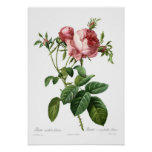 Foliacea del centifolia de Rosa Póster