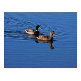 Follow Me Duck Postcard