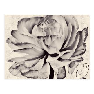 Fondo blanco del negro de la flor del ranúnculo tarjetas postales