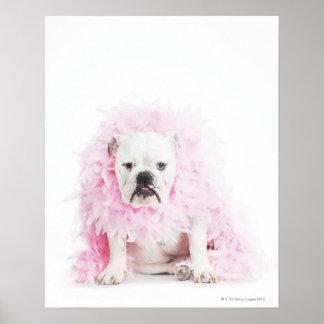 fondo blanco, dogo blanco, pluma rosada póster