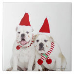 fondo blanco, dogos blancos, perro masculino, azulejo cuadrado grande