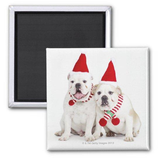 fondo blanco, dogos blancos, perro masculino, imán cuadrado