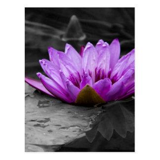 Fondo blanco y negro del lirio de agua 002 púrpura tarjetas postales