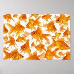 Fondo que muestra un grupo grande de Goldfish Póster