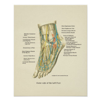 Foot & Ankle Internal Anatomy Poster