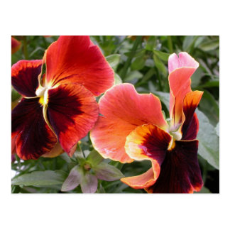 For the Love of Pansies Postcard
