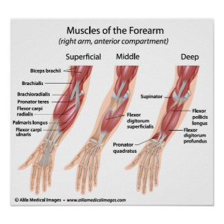 Forearm flexor muscles, labeled drawing. print