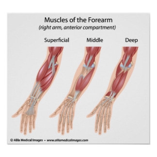 Forearm flexor muscles, medical drawing. poster