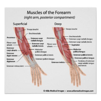 Forearm muscles dorsal compartment poster