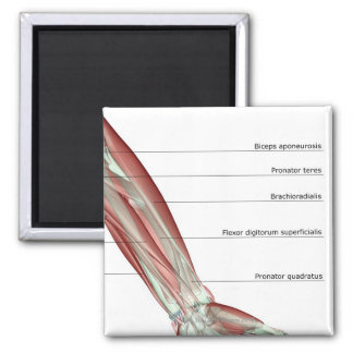 Forearm Musculoskeleton Magnet