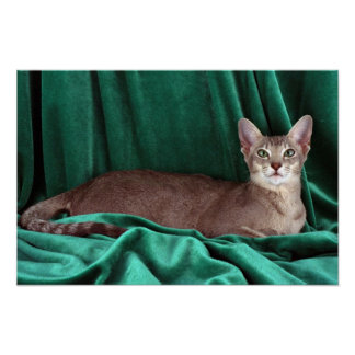 Foreign Oriental blue ticked tabby Poster