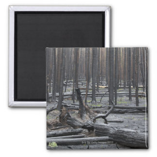 Forest after fire in Yellowstone National Park Magnet