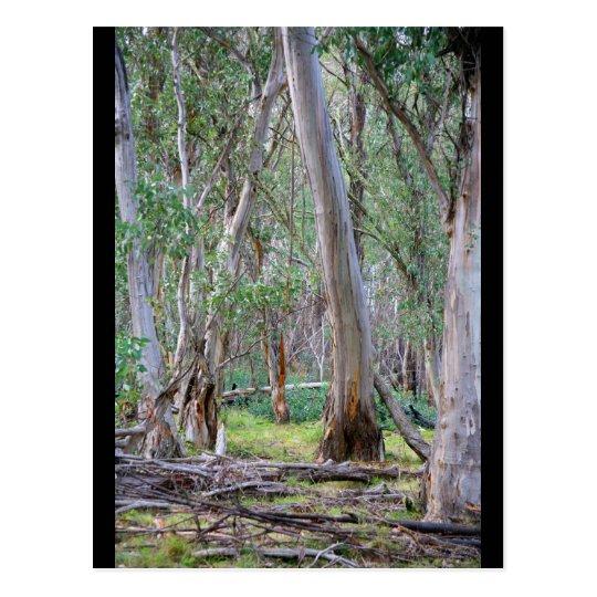 Forest - Australia Postcard