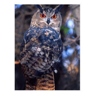 Forest Eagle Owl, Bubo bubo, Native to Eurasia 2 Postcard