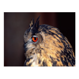 Forest Eagle Owl, Bubo bubo, Native to Eurasia Post Cards