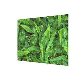 Forest Floor, Quinault Rain Forest, Olympic NP, Canvas Print