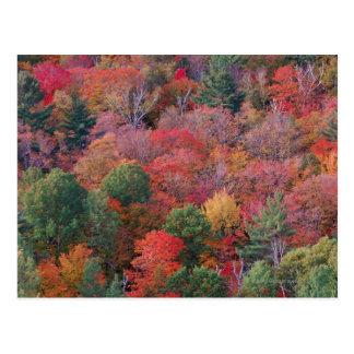Forest in autumn with fall foliage.  Algonquin Postcard