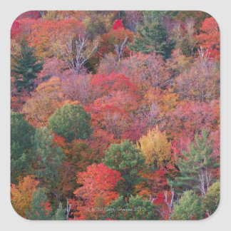 Forest in autumn with fall foliage.  Algonquin Square Sticker