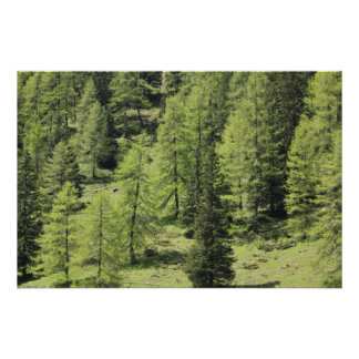 Forest, larches in the spring print