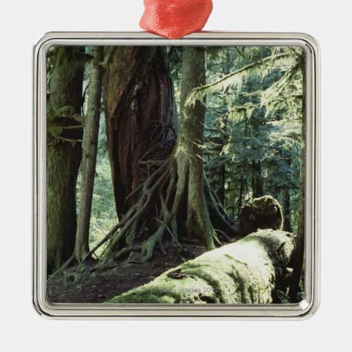 Forest of Cathedral Grove in British Columbia Christmas Ornaments