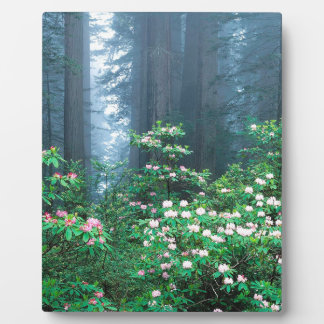 Forest Redwoods Blooming Rhododendrons Photo Plaque
