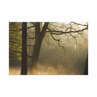 Forest sun rays and low fog canvas print