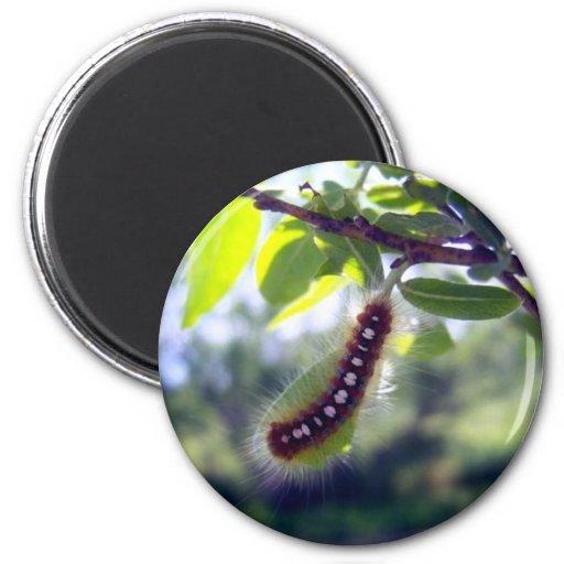 Forest Tent Caterpillar 1 Magnet