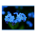 Forget-me-not 51 postcard