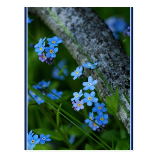 Forget-me-not 67 postcard