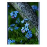 Forget-me-not 67 postcards