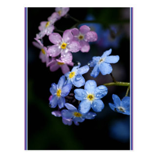 Forget-me-not 74 postcard
