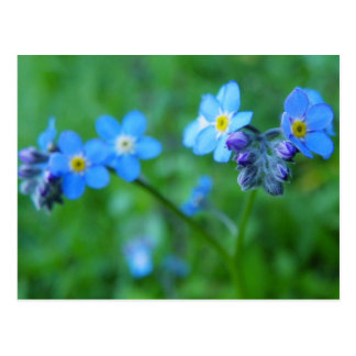 Forget-me-not Blues Post Cards