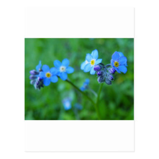 Forget-me-not Blues Postcard