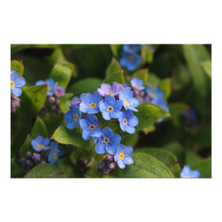 forget-me-not with dew macro photo print