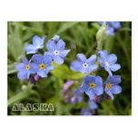 Forget-Me-Nots, Alaska State Flower Postcard