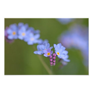 Forget Me Nots Photo Print