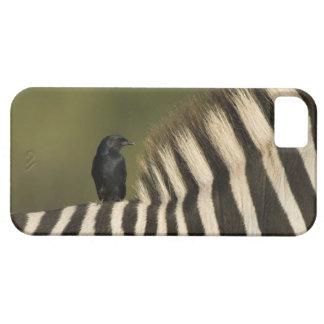 Fork-Tailed Drongo (Dicrurus adsimilis) riding iPhone SE/5/5s Case