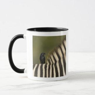 Fork-Tailed Drongo (Dicrurus adsimilis) riding Mug