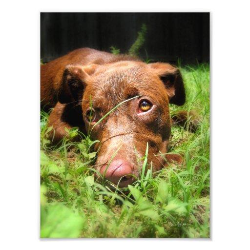 Forlorn Chocolate Lab Pit Puppy Art Photo