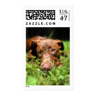 Forlorn Chocolate Lab Pit Puppy Postage