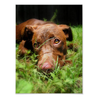 Forlorn Chocolate Lab Pit Puppy Poster