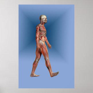 Forma humana que muestra el esqueleto y la muscula posters