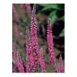 Forma rosado, (Veronica Longifolia) flores Tarjetas Postales