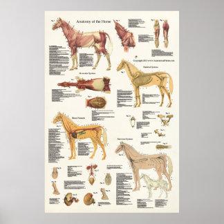 Formato grande del poster equino de la anatomía de