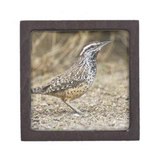 Forraje adulto del wren de cactus cajas de joyas de calidad