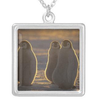 Forsteri de los pingüinos, del Aptenodytes de Colgante Cuadrado