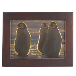 Forsteri de los pingüinos del Aptenodytes de empe
