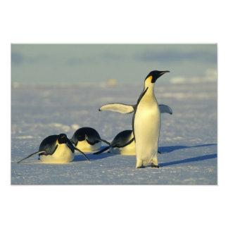 Forsteri de los pingüinos, del Aptenodytes de empe Cojinete