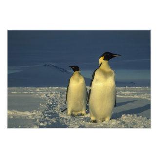 Forsteri de los pingüinos, del Aptenodytes de empe Fotografías